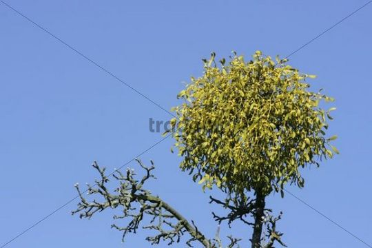 Blooming mistletoe, European mistletoe (Viscum album) on top of an apple tree