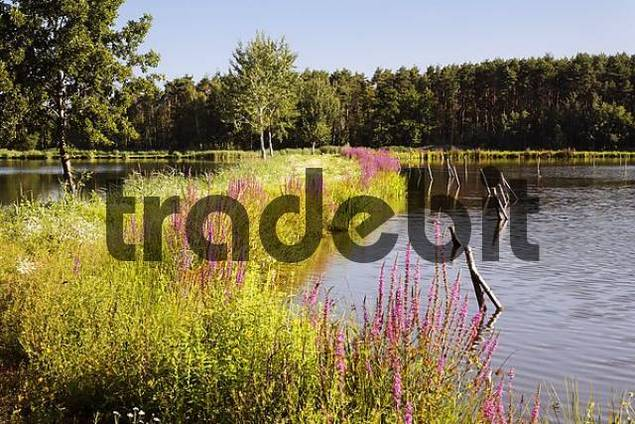 lake near Schwarzenfeld , purple loosestrife , Bavaria Germany
