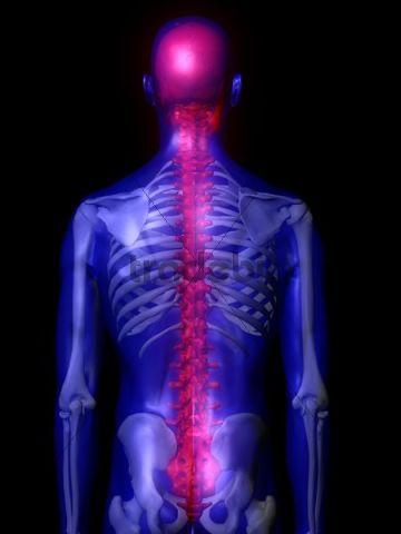 Illustration of male backbone