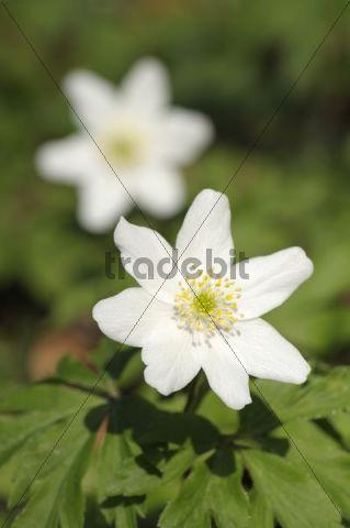 Winter anemone (Anemone nemorosa)