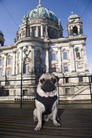Young pug in front of the cathedral in Berlin, Mitte, Germany, Europe