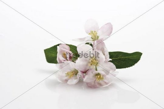 Apple blossoms with leaves
