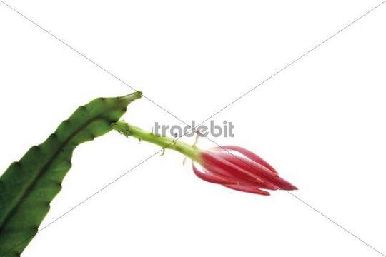 Epiphyllum, blossom