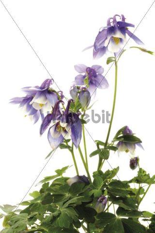 Columbine (Aquilegia vulgaris), blue
