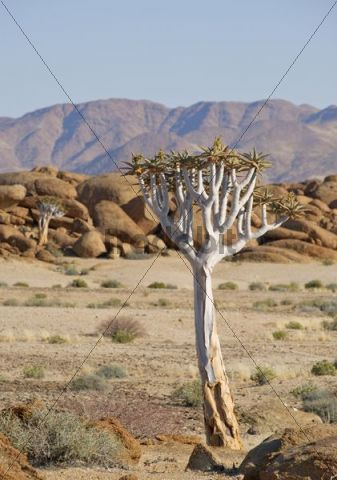 Quiver Tree (Aloe dichotoma) in front of granite rocks in the Namib-Naukluft National Park, Namibia, Africa