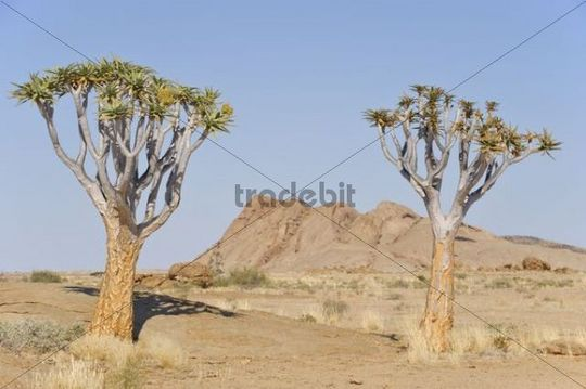 Quiver trees (Aloe dichotoma) in front of the Namibias Ayers Rock, Namib-Naukluft National Park, Namibia, Africa