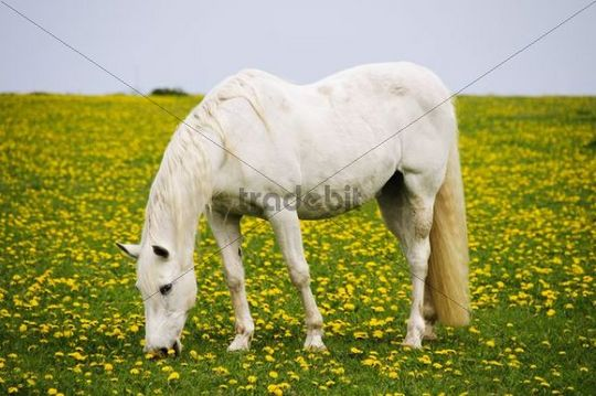 A white horse on a lush meadow with dandelions, Sylt island, Schleswig-Holstein, Germany, Europe