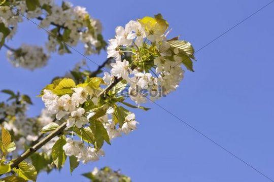 Flowering cherry tree, sweet cherry, variety Buettner´s Red Cherry (Prunus avium subsp. duracina)
