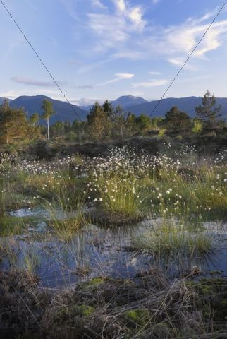 Wetlands, renaturation of moor with flowers from Hare´s-tail Cottongrass, Tussock Cottongrass or Sheathed Cottonsedge (Eriophorum vaginatum) in Rosenheim, looking towards the Alps, Bavaria, German