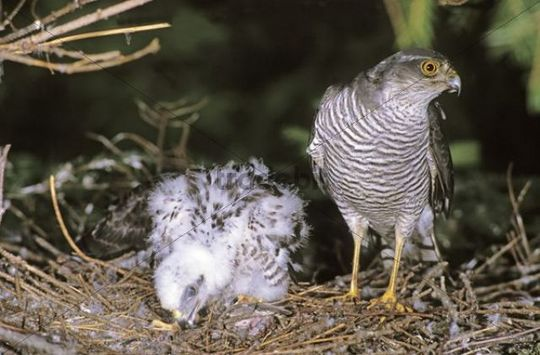 Sparrowhawk (Accipiter nisus) female with chicks at the aerie