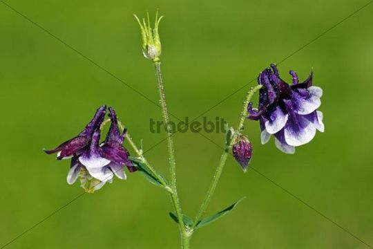 Columbine cultivar, double-flowered Aquilegia x hybrida (Aquilegia cultivar), poisonous garden plant