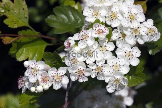 Flowering Midland Hawthorn, Woodland Hawthorn, Mayflower ...