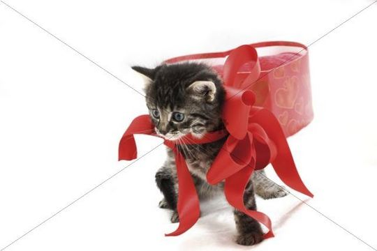 Kitten with a red ribbon and a heart-shaped gift box, 5 weeks old