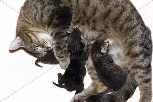 Cat suckling its kittens, 4 days old