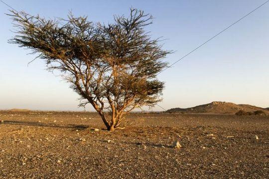 Lonely acacia tree in a Hammada desert near Sinaw, Sharqiya Region, Sultanate of Oman, Arabia, Middle East