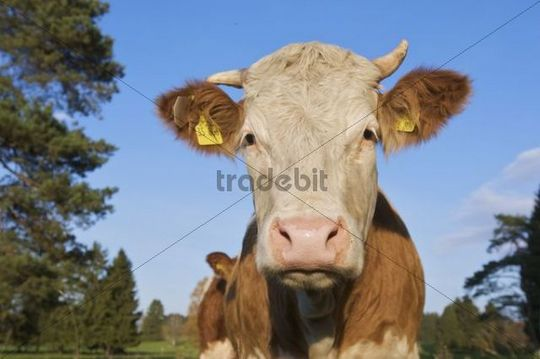 Dairy cow on a pasture in Upper Bavaria, Bavaria, Germany, Europe