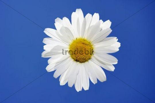 Marguerite (Leucanthemum)