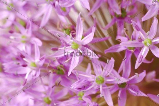 Decorative Allium flower head