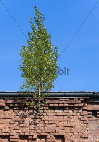 Birch growing from the masonry on the roof of an old factory
