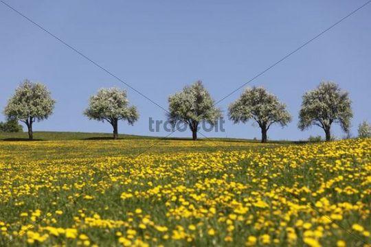 Blossoming pear trees, dandelion meadow, Mostviertel, Lower Austria, Austria, Europe