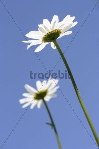 Two Oxeye Daisy flowers (Leucanthemum vulgare) against blue sky