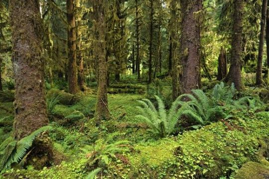 Ferns and lichens, Olympic National Park, Washington, USA, North America