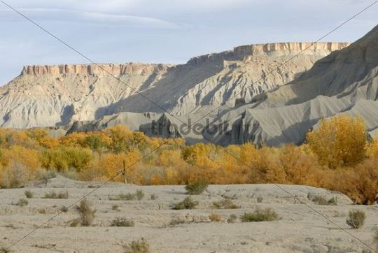Autumn colored trees on Sandy Creek and gray sandstone formation, near Caineville on Highway 24, Utah, USA