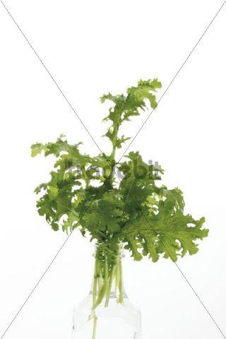 Leaf Mustard (Brassica juncea)