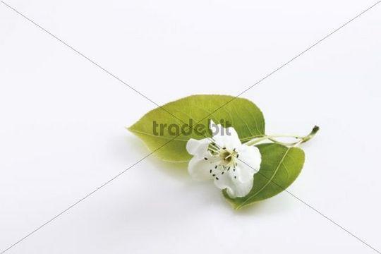Blossoms of the Nashi Pear tree (Pyrus pyrifolia)