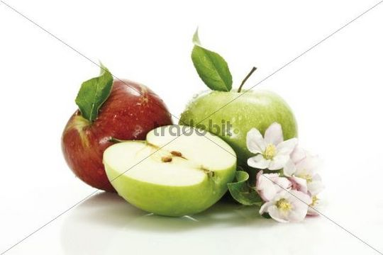 Red and green apple (Malus) with blossoms