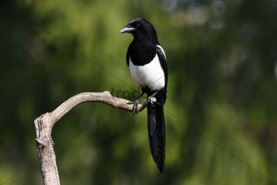 Magpie (Pica pica) perched on branch