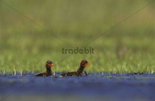 American Coot (Fulica americana), young, Willacy County, Rio Grande Valley, South Texas, USA