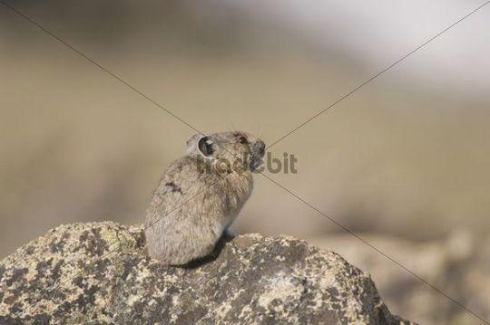 American Pika (Ochotona princeps), adult on rock, Rocky Mountain National Park, Colorado, USA