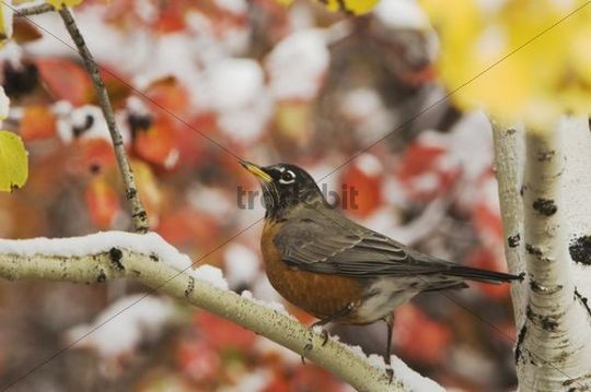 American Robin (Turdus migratorius), male in Aspen tree, fallcolors, snow, Grand Teton National Park, Wyoming, USA