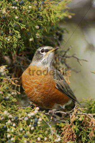 American Robin (Turdus migratorius), male eating juniper tree berries, Yellowstone National Park, Wyoming, USA