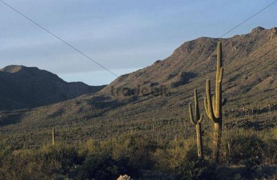 Saguaro Cactus (Carnegiea gigantea), Saguaro National Park, Tucson, Sonoran Desert, Arizona, USA