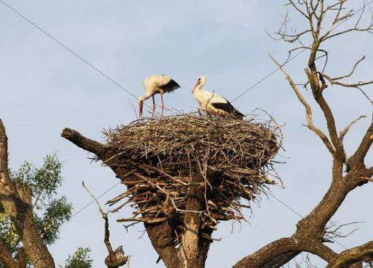 White Storks (Ciconia ciconia), stork nest, March River floodlands, Marchegg, Lower Austria, Austria, Europe
