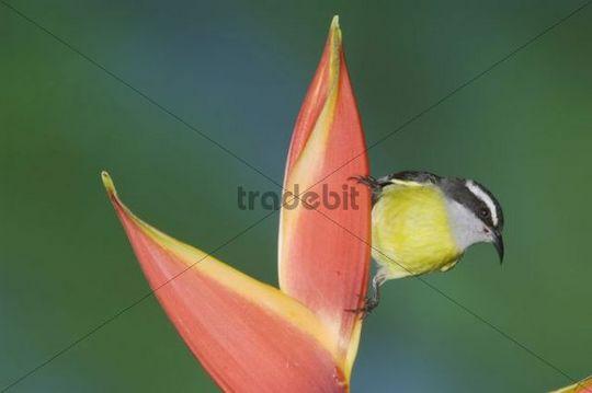 Zuckervogel oder Bananaquit (Coereba flaveola), ausgewachsenes Tier an Helikonien-Blüte, Central Valley, Costa Rica, Zentralamerika