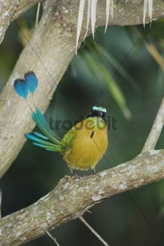 Blue-crowned Motmot (Momotus momota), adult perched, Central Valley, Costa Rica, Central America