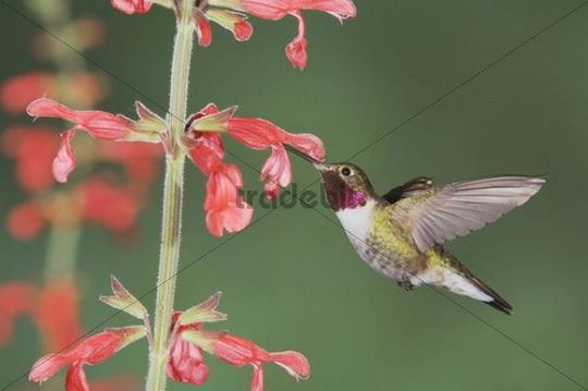 Broad-tailed Hummingbird (Selasphorus platycercus), male in flight feeding on Red Sage (Salvia sp.), Rocky Mountain National Park, Colorado, USA