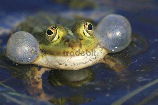 Edible Frog (Rana esculenta), calling male with vocal sacs