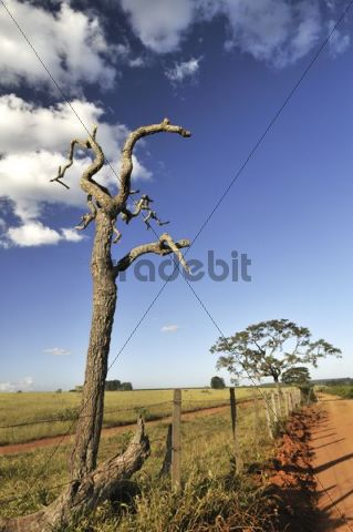 Landscape with a crippled dead tree, Brazil, South America