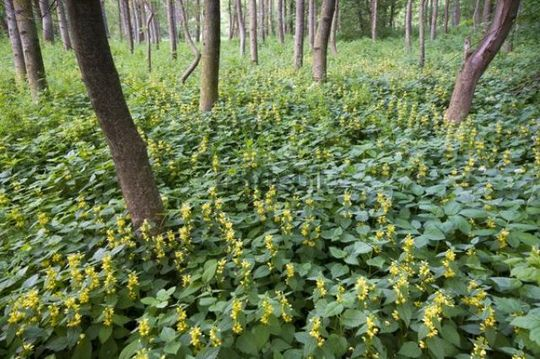 Alluvial forest and Yellow Archangel (Lamium galeobdolon), Pielach near Loosdorf, Upper Austria, Europe