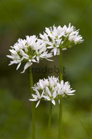 Ramsons (Allium ursinum), Pielach near Loosdorf, Upper Austria, Europe