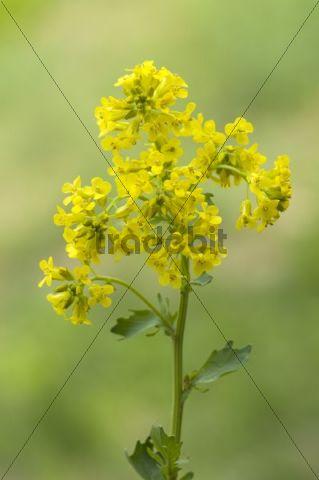 Bittercress (Barbarea vulgaris), Pielach near Loosdorf, Upper Austria, Europe