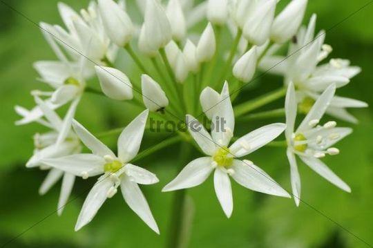 Wild Garlic blossoms (Allium ursinum)