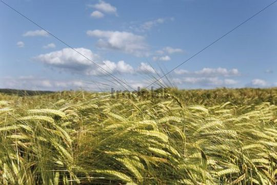 Barley field against a blue sky