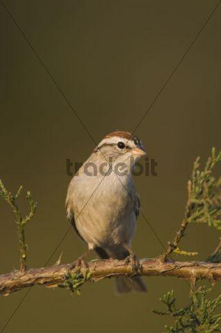 Chipping Sparrow (Spizella passerina), adult on Mountain Cedar (Juniperus ashei), Uvalde County, Hill Country, Central Texas, USA