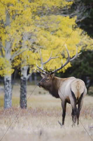 Elk, Wapiti (Cervus elaphus), bull with aspentrees with fallcolors, Rocky Mountain National Park, Colorado, USA
