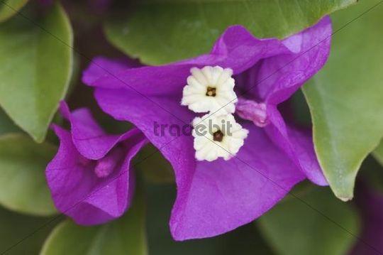 Bougainvillea (Bougainvillea glabra), garden flower, blooming, Oberaegeri, Switzerland, Europe